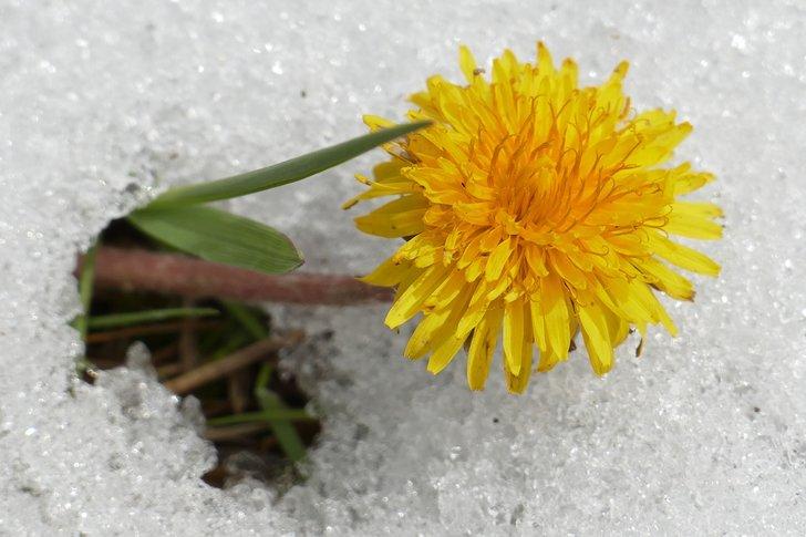 keväinen voikukka